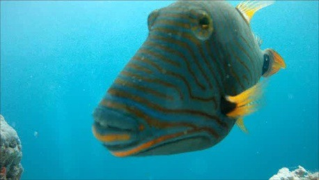 Undulate TriggerfishUndulate Triggerfish