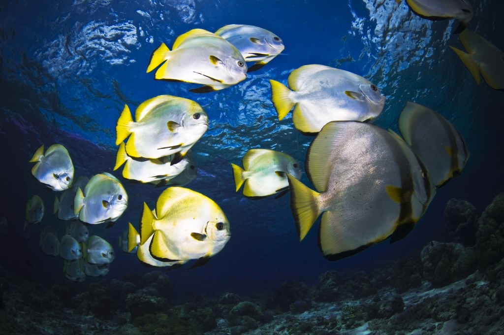 School of curious Batfish © R Klein